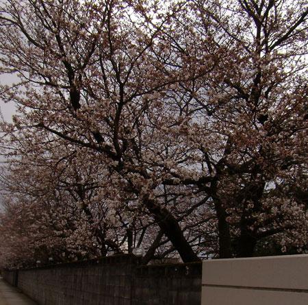 中村留精密工業の桜