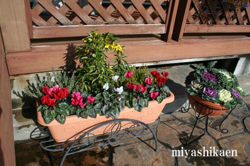 ガーデンシクラメン、ミニハボタンの寄せ植え