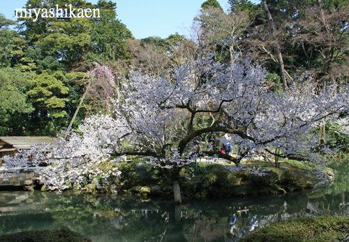 兼六園 瓢池の桜