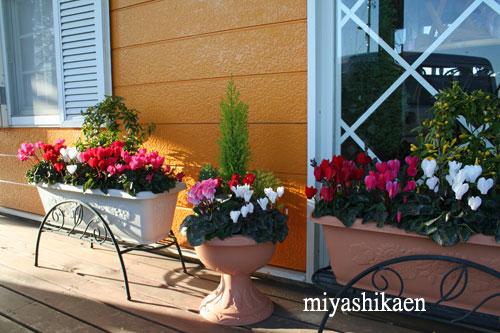 夢見草玄関 ガーデンシクラメンの寄せ植え