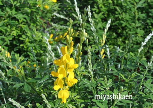 春の花 エニシダ