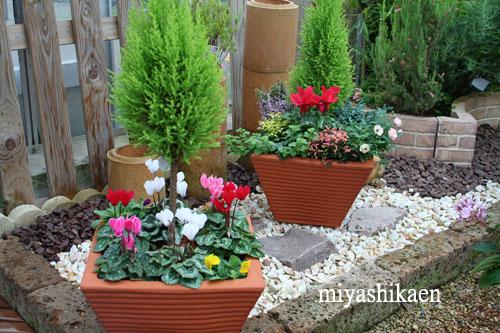 ガーデンシクラメンとコニファーの寄せ植え