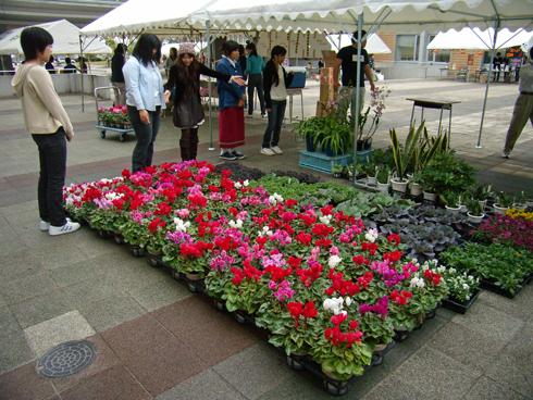 宮子花園のシクラメン
