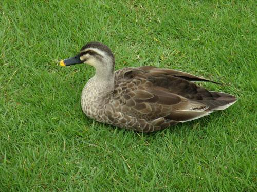 犀川河川敷の鴨