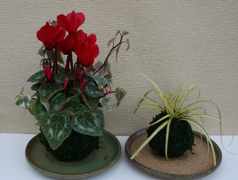 ガーデンシクラメンとベアグラスの苔玉