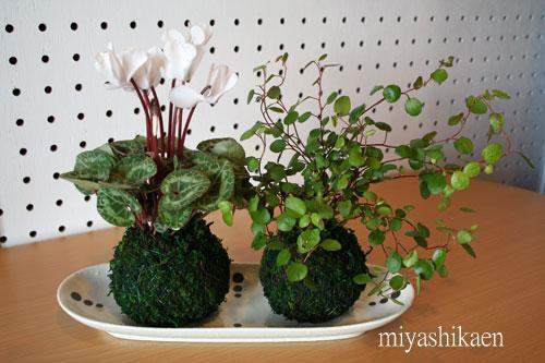 ガーデンシクラメンとワイヤープランツの苔玉