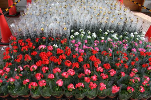 スタンプラリーの景品の鉢花