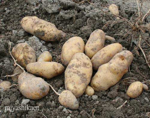 自家菜園でジャガイモ収穫