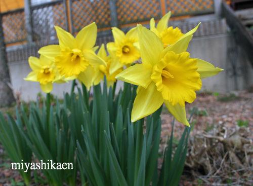 ガーデンに咲いた水仙