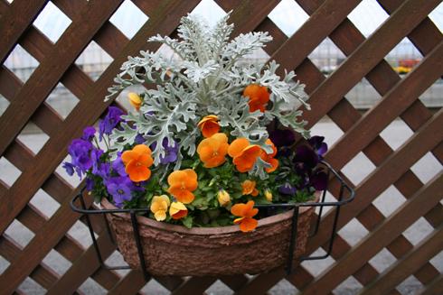 ビオラと白妙菊