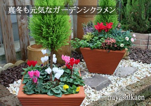 ガーデンシクラメン
