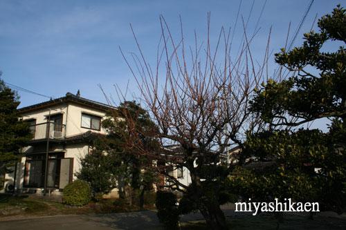 剪定前の杏梅 10.02.14