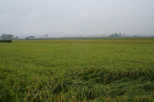 冷夏で生育の遅れた稲