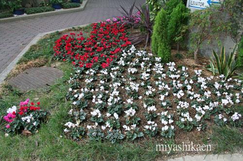 ガーデンシクラメンの花壇
