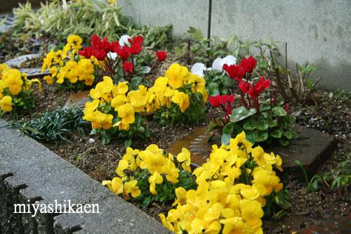 ガーデンシクラメンとビオラの花壇