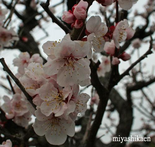 自宅前の杏梅が満開