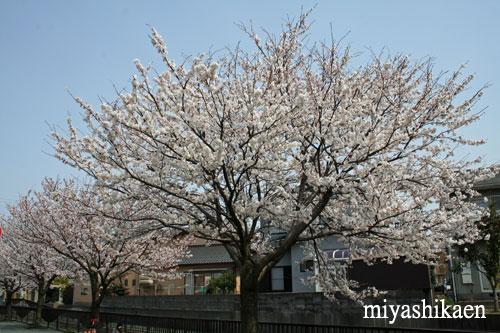 満開の桜  10.04.06