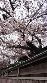 燕喜館桜2