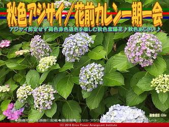 秋色アジサイ/花前カレン一期一会画像01