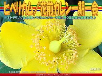 ヒペリカムヒドコート/花前カレン画像02