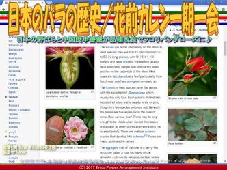 日本のバラの歴史(4)/花前カレン画像01