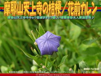 摩耶山天上寺の桔梗/花前カレン画像02