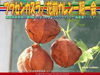 フウセンカズラ/花前カレン一期一会画像01