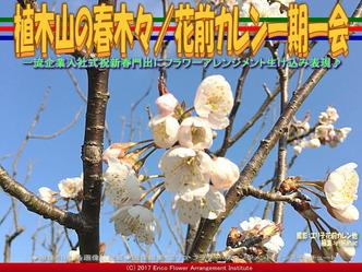 植木山の春木(2)/花前カレン一期一会画像03