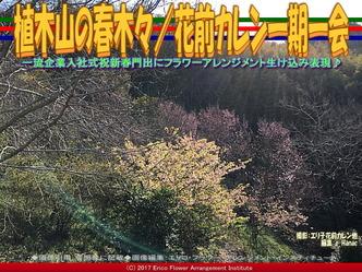 植木山の春木(5)/花前カレン一期一会画像03