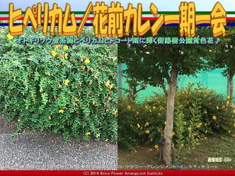 ヒペリカム/花前カレン一期一会画像03