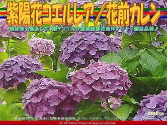 あじさいコエルレア/花前カレン画像01