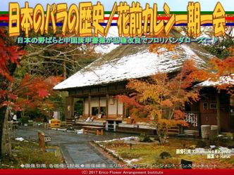 日本のバラの歴史(5)/花前カレン画像01