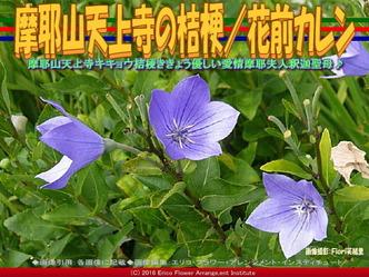 摩耶山天上寺キキョウ/花前カレン画像01