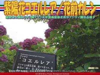 紫陽花コエルレア/花前カレン画像01