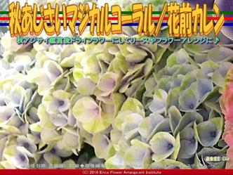 秋紫陽花マジカルコーラル/花前カレン画像01