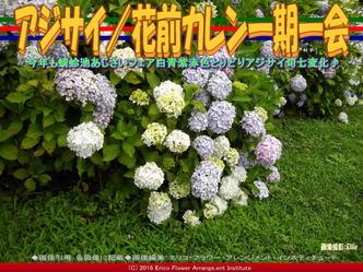 アジサイ/花前カレン一期一会画像02