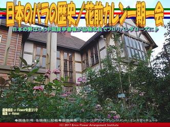 日本のバラの歴史(3)/花前カレン画像02