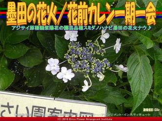 墨田の花火/花前カレン一期一会画像03