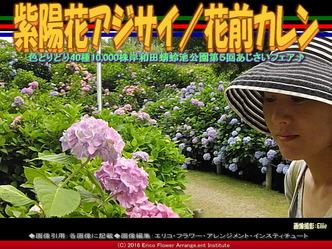 紫陽花アジサイ/花前カレン画像03