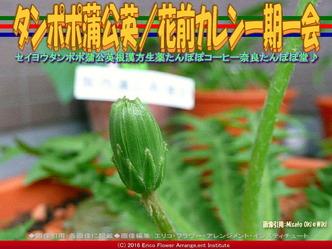 タンポポ蒲公英(2)/花前カレン画像02