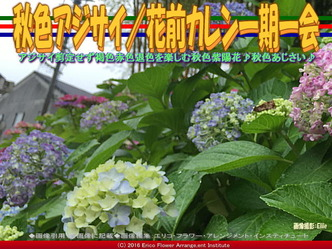 秋色あじさい/花前カレン一期一会画像01