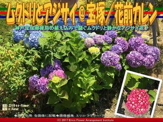 ムクドリとアジサイ@宝塚/花前カレン画像02