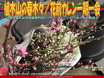 植木山の春木(7)/花前カレン一期一会画像02