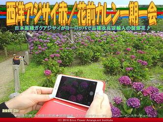 西洋アジサイ赤/花前カレン一期一会画像03