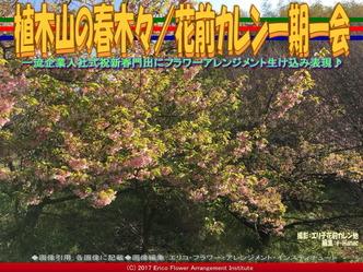 植木山の春木(5)/花前カレン一期一会画像01