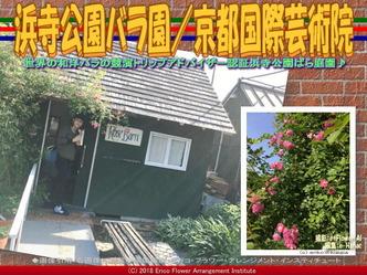 浜寺公園バラ園(7)/京都国際芸術院画像01 ▼画像クリックで640x480pxlsに拡大@エリ子花前カレン