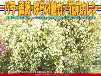 バラ・薔薇・ばらの魅力(3)/花前カレン画像02