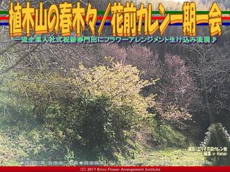 植木山の春木(4)/花前カレン一期一会画像03