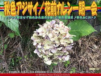 秋色アジサイ/花前カレン一期一会画像02