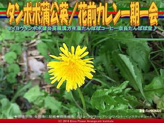 セイヨウタンポポ/花前カレン画像03